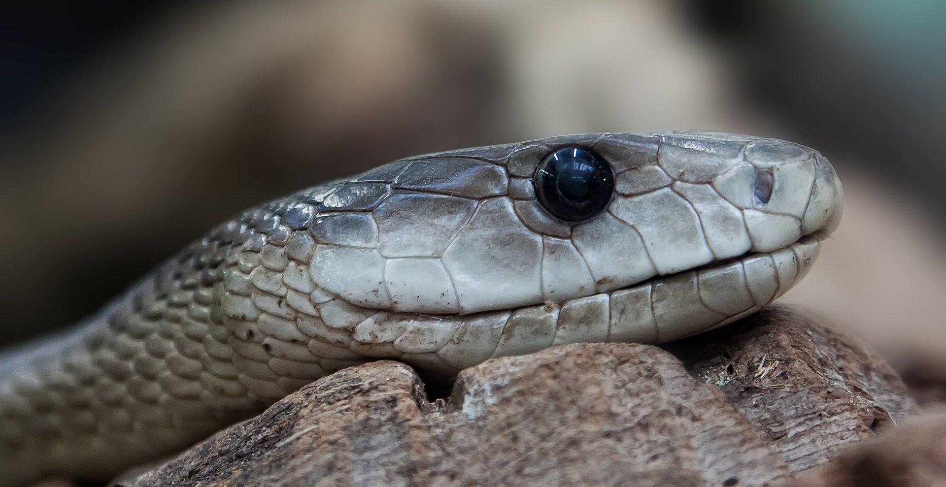 serpiente recurso