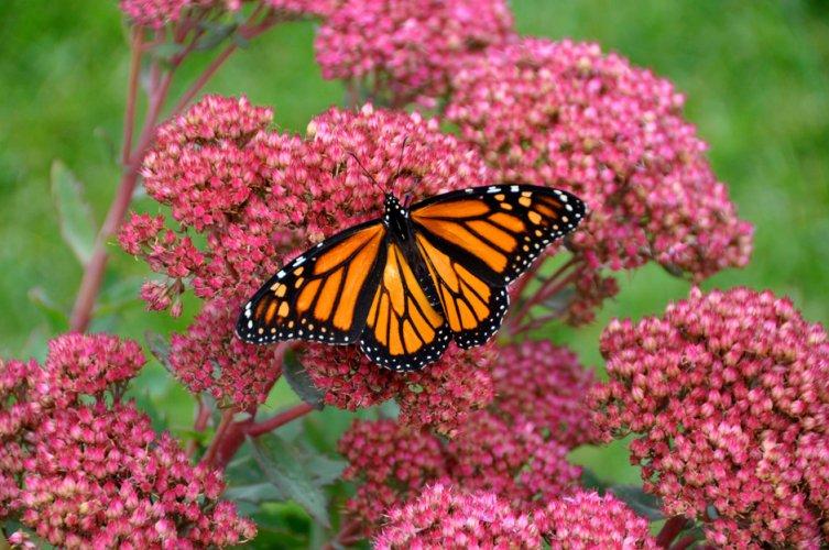 Imagen de una mariposa monarca, cuya protección ha sido galardonada con el Premio Fundación BBVA a la Conservación de la Biodiversidad.