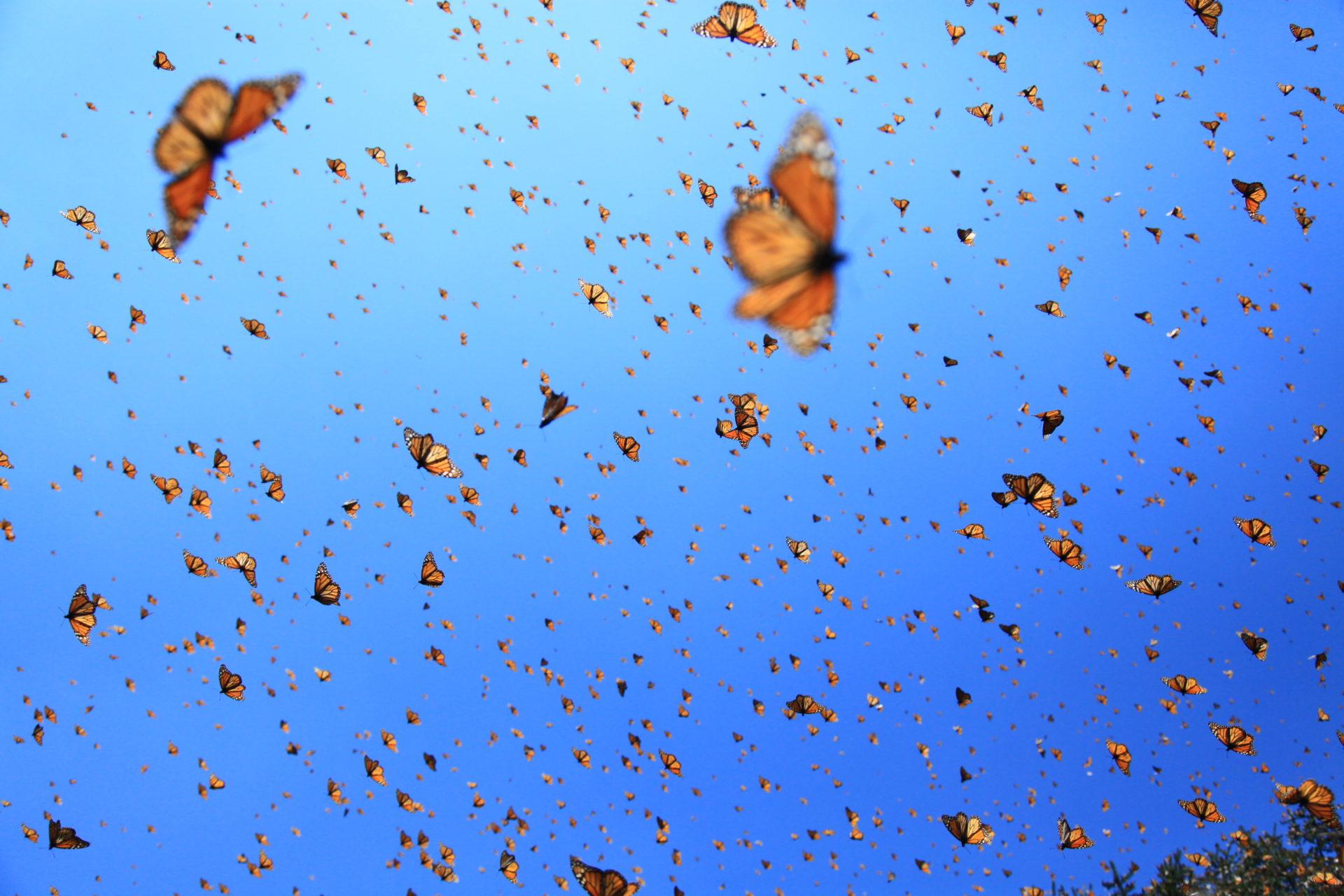 Imagen de mariposas monarca, cuya protección ha sido premiada recientemente por la Fundación BBVA. @FMCN