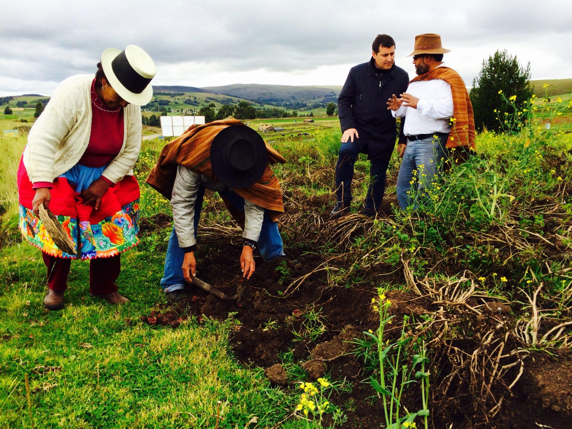 Fotografía de Josep Roca comprobando las variedades de papas que se cultivan en los campos de Condorccocha, en las cercanías de Ayacucho antes de la Gira BBVA 2014