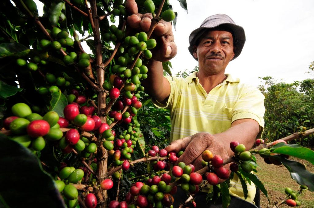 Fotografía de Campesino colombiano cosechando café