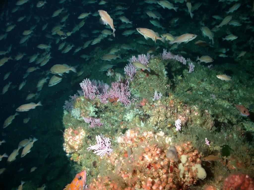 Hidrocorales en las costas de California -NOAA Southwest Fisheries Science Center