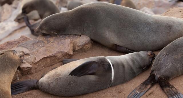Imagen de un león marino, con un plástico enredado en el cuerpo