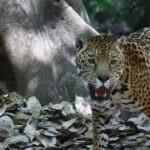 Jaguar en un espacio protegido creado por el Laboratorio de Ecología y Conservación de Fauna Silvestre (UNAM), premiado por la Fundación BBVA