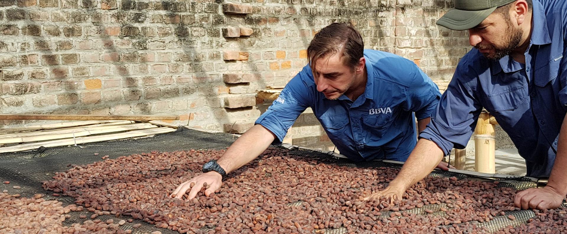 Jordi Roca palpa un secadero de granos de cacao blanco en su visita con BBVA a Perú