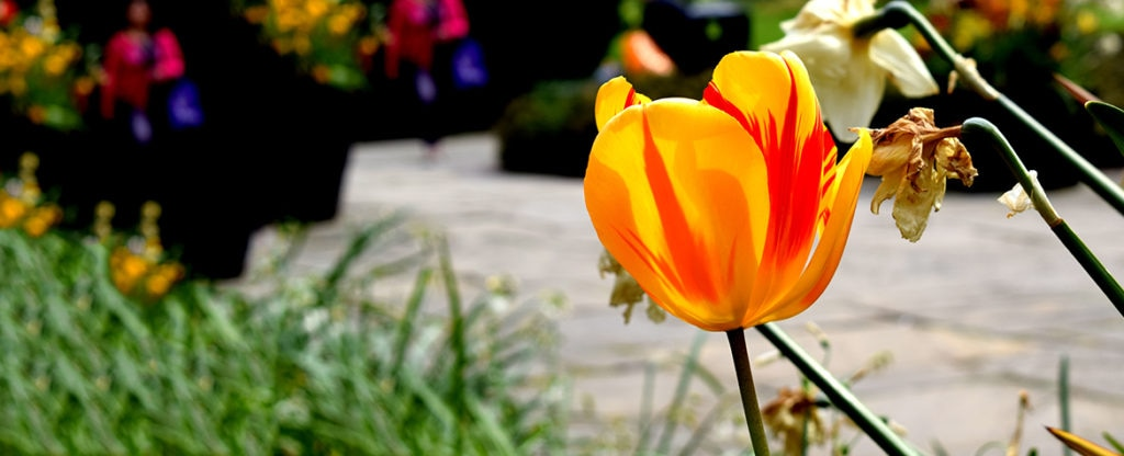 BBVA tulipan tulipomanía burbuja económica