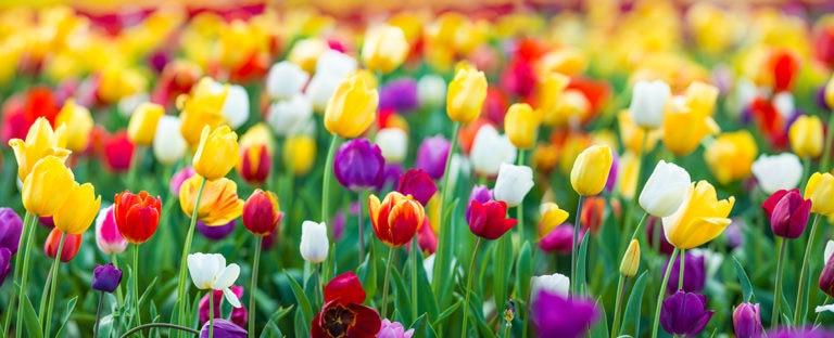 BBVA tulipanes tulipomanía burbuja económica