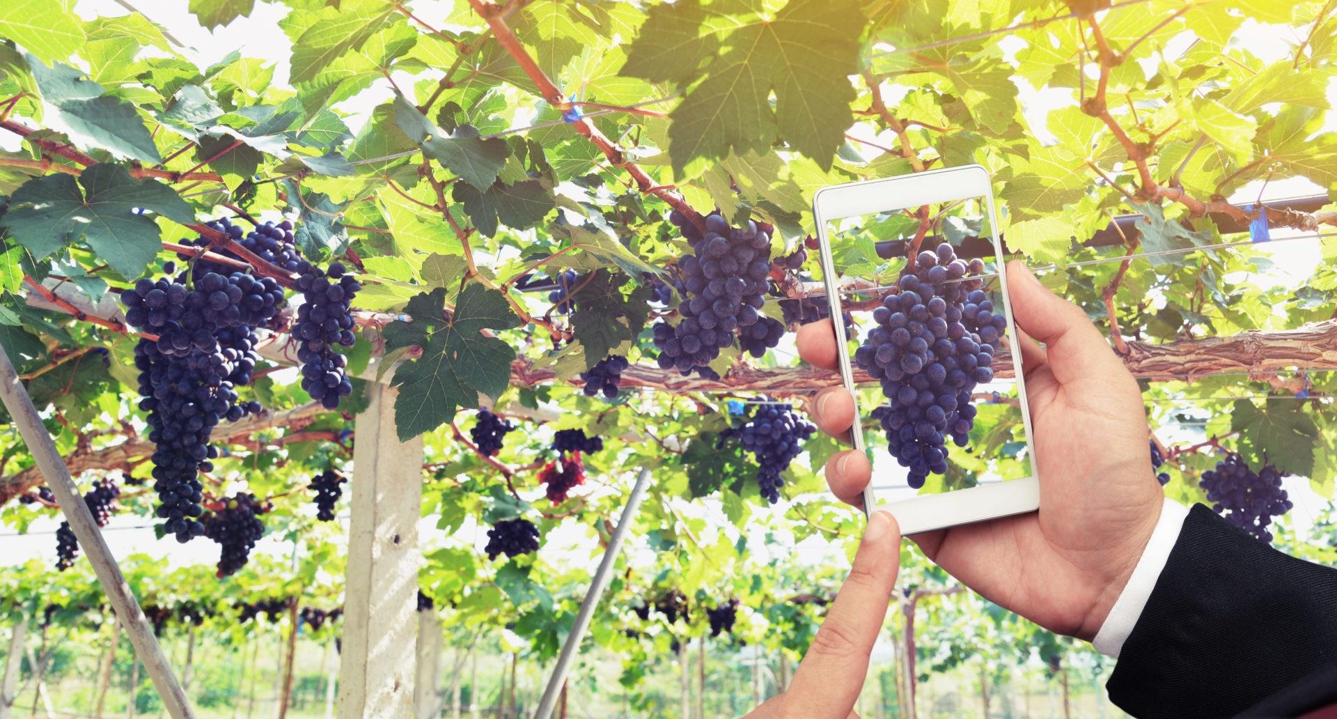 vino-movil-viñedo-uvas-BBVA