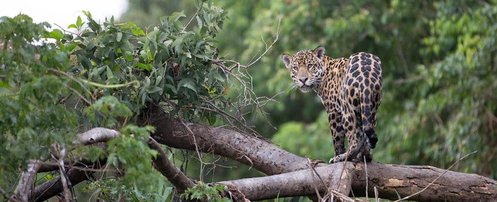 VidaSilvestre-jaguar-BBVA