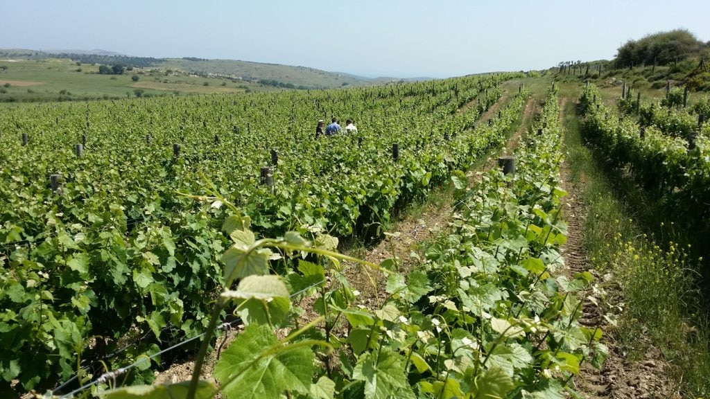 Picture of a Vineyard in Turkey during Josep Roca reconnaissance trip - BBVA